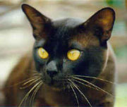 Modern Brown Burmese Male
